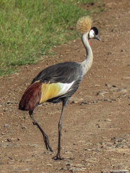 Grey Crowned Crane - Uganda's national bird.