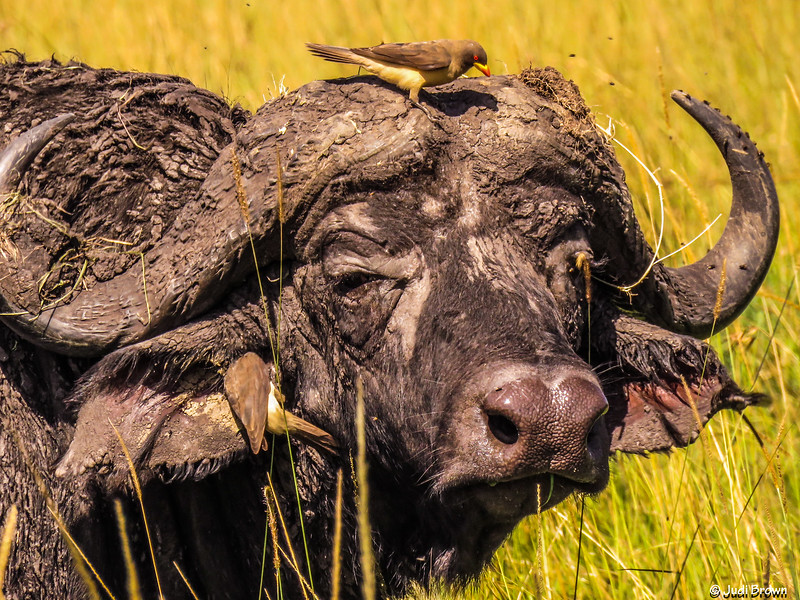 Cape Buffalo with helpful yellow-billed Oxpeckers