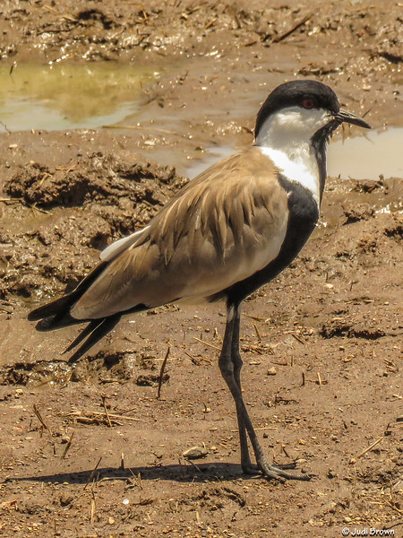 Spur-wing Plover (Lapwing)