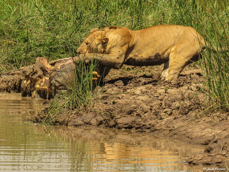 Lion trying to haul hippo remains on shore and away from alligators & crocodiles.