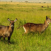 Waterbuck (females)