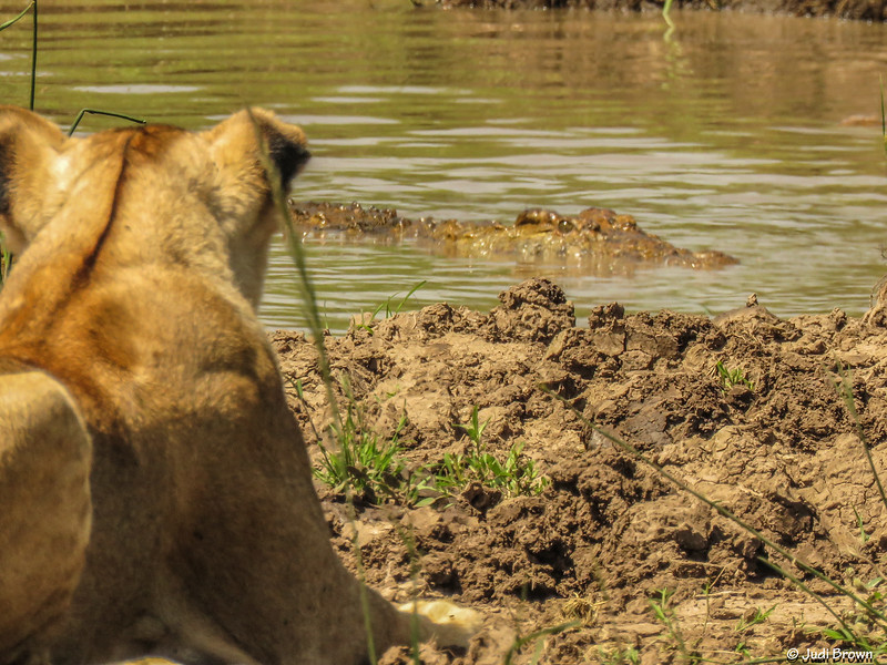 Wary lioness.
