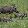 Warthog family
