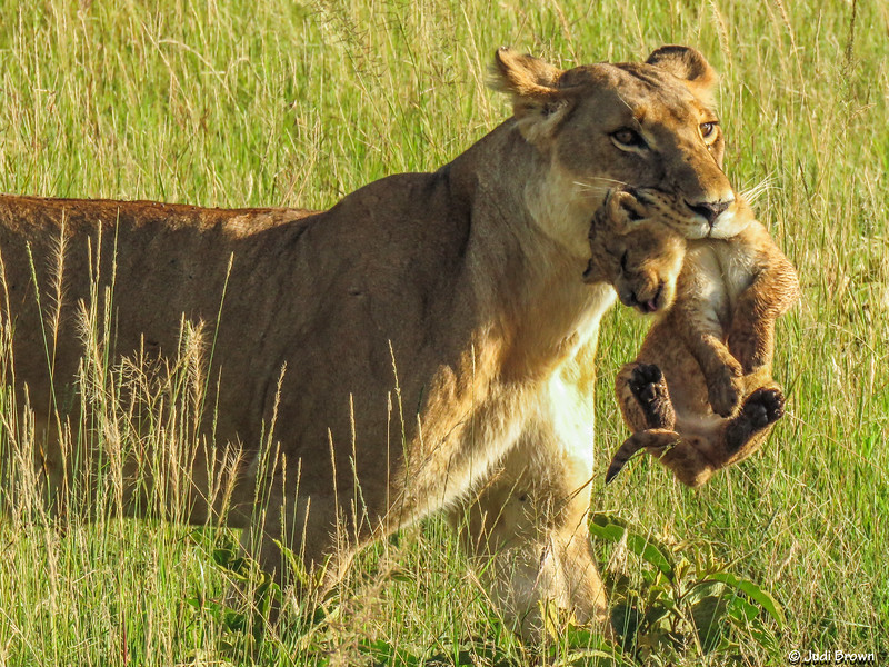 Lioness carries one cub while the other follows behind as she returns with them to her pride.