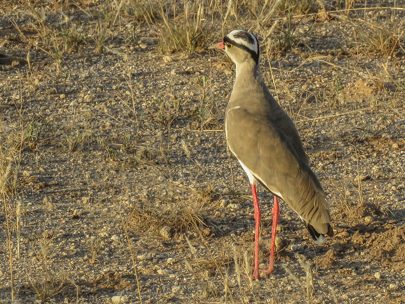 Crowned Plover (Lapwing)