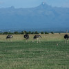 Common Ostrich (male on right).  Mt Kenya in background.