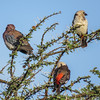 White-headed Buffalo weavers & Laughing Dove