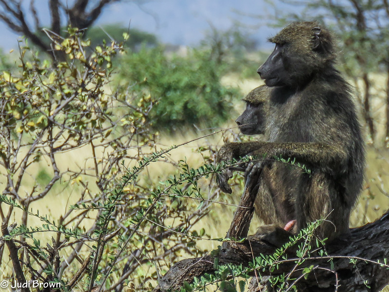 Baboon watching a fight & staying out of the way.