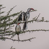 Red-billed Hornbill courting his lover