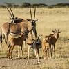 Beisa Oryx with young