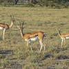 Young buck Impala