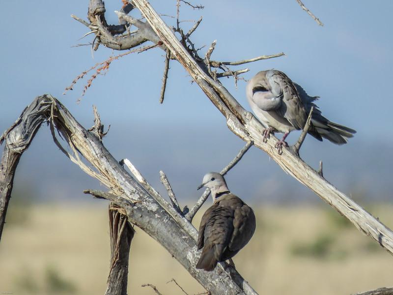Ring-necked Dove (Cape Turtle Dove)