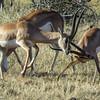 Sparring impala