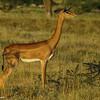 Geranuk gazelle