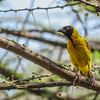 Black-headed Weaver (Village Weaver)