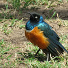 Superb Starlings - they're all around the campgrounds.  Wish our starlings were this pretty and polite.