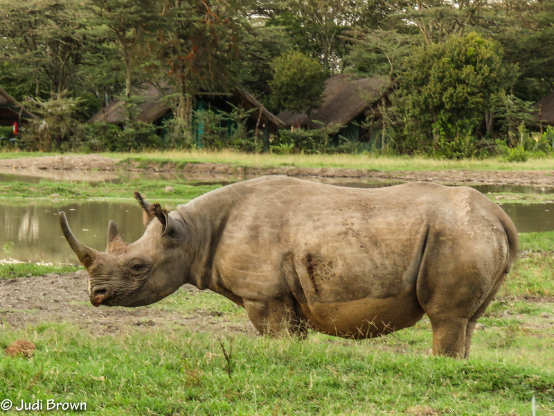 Black rhino.  They developed a pointed lip which they use to pick fruit from branches and select leaves from twigs.
