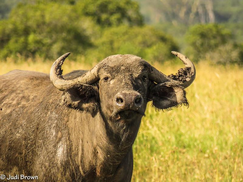 Cape Buffalo (cow)