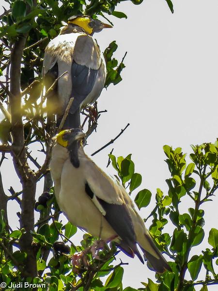 Male Waddled Starlings in breeding plumage