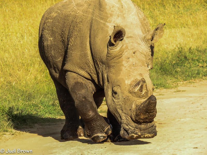 white rhino (male)