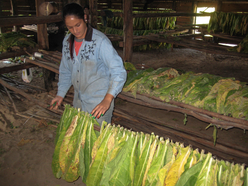 Daughters sort and hang tobacco for drying.