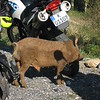 This free-roaming pig, covered in wet mud, emerged from the roadside ditch.  Decided our motorcycles were perfect for a much-needed back scratch.