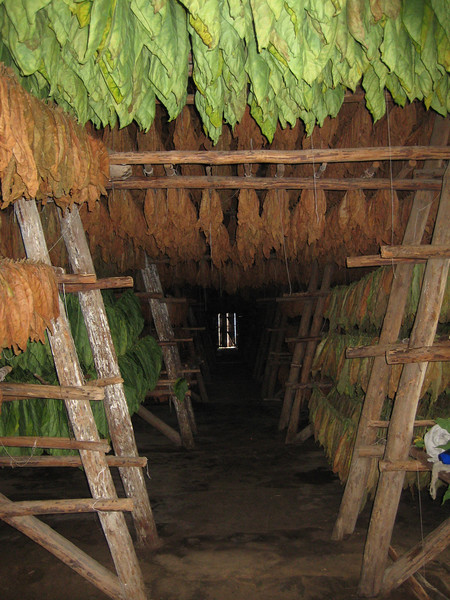 Multiple layers of hanging tobacco are continually repositioned and monitored for moisture, quality, color, etc. in temperature controlled sheds for three years.
