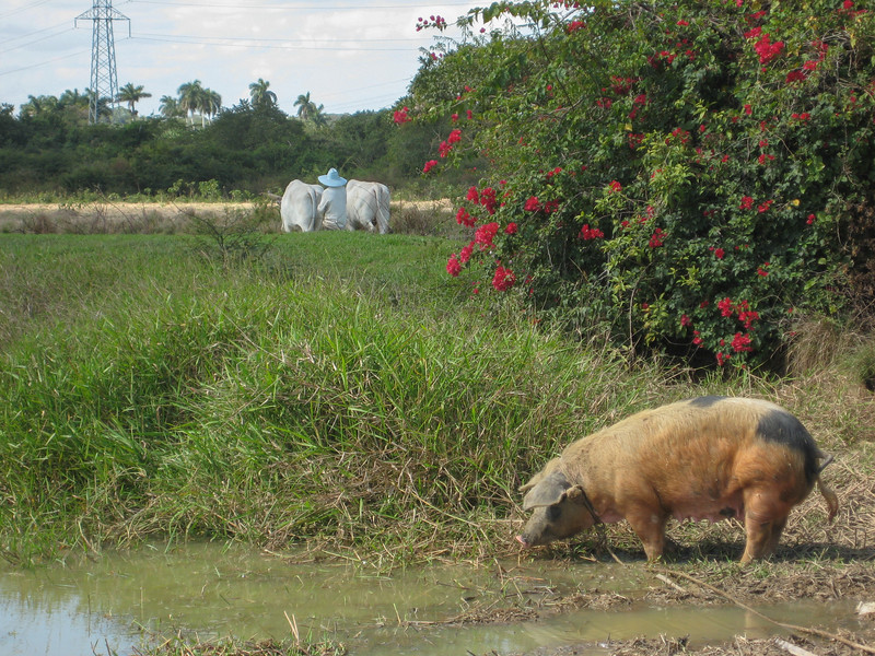 Oxen and pigs are tethered for grazing or wallowing.
