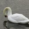Hyde Park - Swan