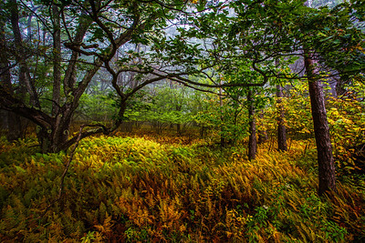 An autumn forest scene in the Dolly Sods Wilderness Area in West Virginia's Monongahela National Forest.  For Canvas Gallery Wraps of this image, please visit:  http://our-wv.com/photography/photographers/randall-sanger-photography/