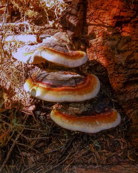 Shelf Fungi Conks