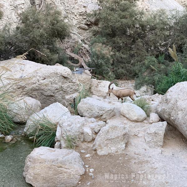 Nubian Ibex, Male