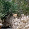 Nubian Ibex, Female