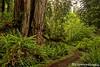 Prairie Creek Redwood Trail