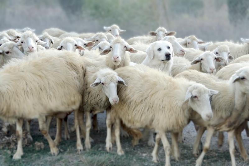 sheep&dog_0703-16x9-68''de haut-100dpi-retouché