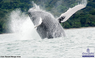 Humpback whale breaching. Seen at a whale watching tour in the Marino Ballena National Park.