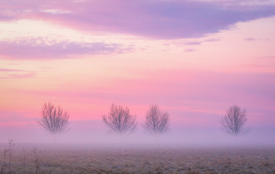 Bare Winter Trees in Fog, San Joaquin Valley
