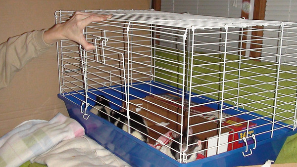 Jerry, 7, 8 and 11 in a neutral, small introductions cage