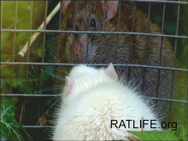 A wild rat and a domesticated rat are allowed to meet, protected by a glassed and wired barrier so that they have no physical contact. Piloerection, also known as poofing or foofing, can be seen. (Permission, Berdoy, M. 2002. The Laboratory Rat: A Natural History. Film. 27 minutes. www.ratlife.org.)