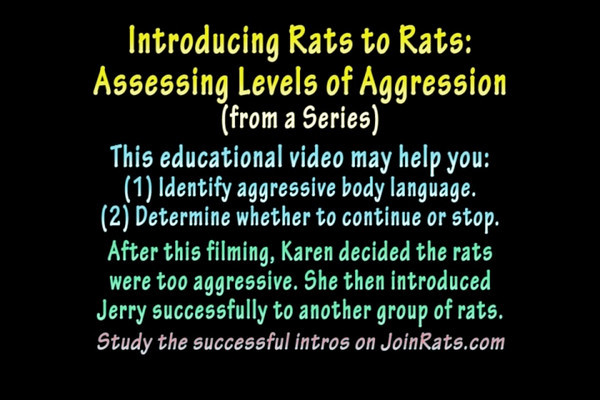 "Part Two of a series. ""Introducing Rats to Rats: Assessing Levels of Aggression."" This video highlights each rat-rat interaction. Watch for poofing, stalking, tip-toeing, an arched back and sidling. Many people allow these behaviors without intervening. Karen ""stops them right away."" If you are attempting to intro your rats, this video will help you identify aggressive body language. Also demonstrated is the ""glove rat"" technique to stop aggression from escalating. Careful notes point out rat behaviors as they happen. Also see part one which demonstrates the use of ""glove rat"" during lightning fast aggression. Always be careful and protect your rats from any injuries."