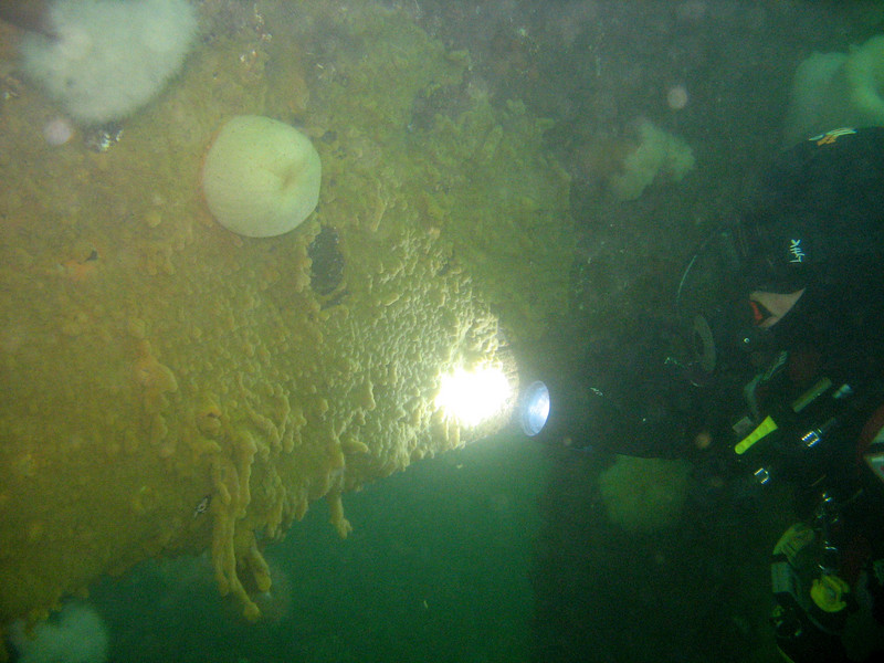 3/23/07 - Valerie shines her dive light on a large patch of Didemnum at Shilshole. - Photo by Janna Nichols