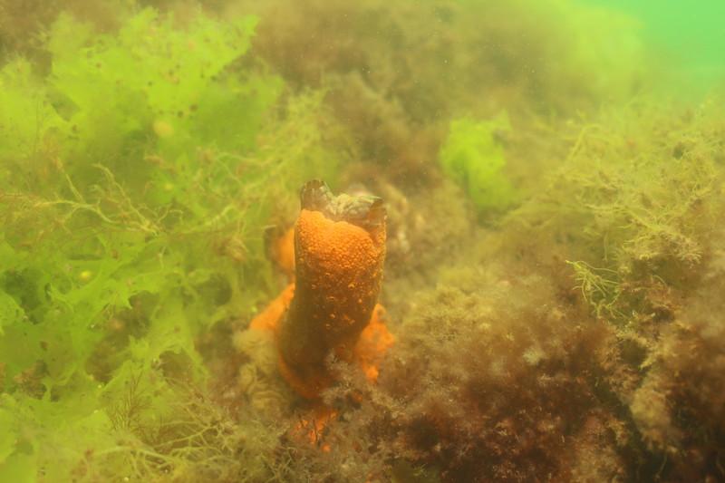 ©Janna Nichols, Styela clava, invasive Club Tunicate, Cressy Beach, Massachusetts