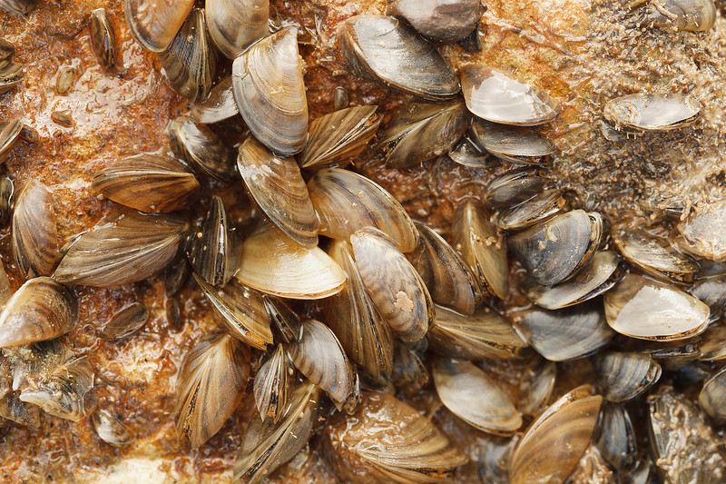 Zebra mussels on Lake Texoma and control efforts