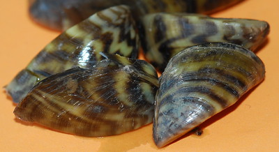 Texoma Zebra Mussels
