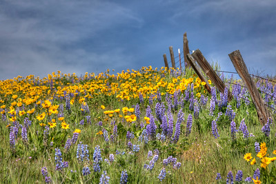 Field of Lupine and Balsomroot