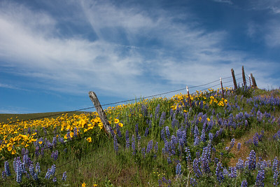 Wildflowers Along the Fenceline