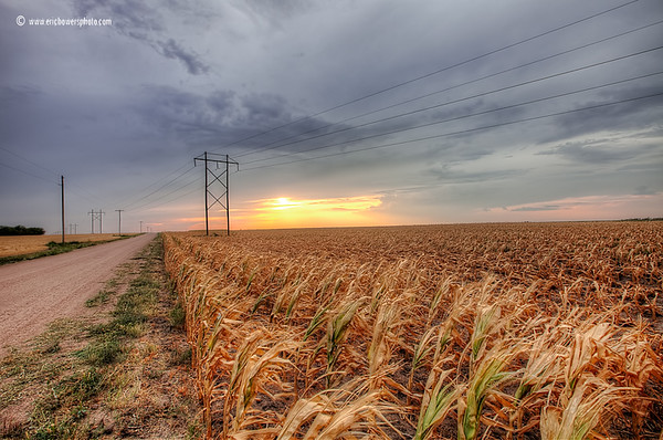 Dead Corn in the Drought