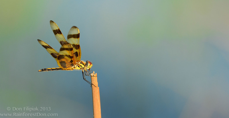 Halloween Pennant (<i>Celithemis eponina</i>) Everglades National Park April 2013