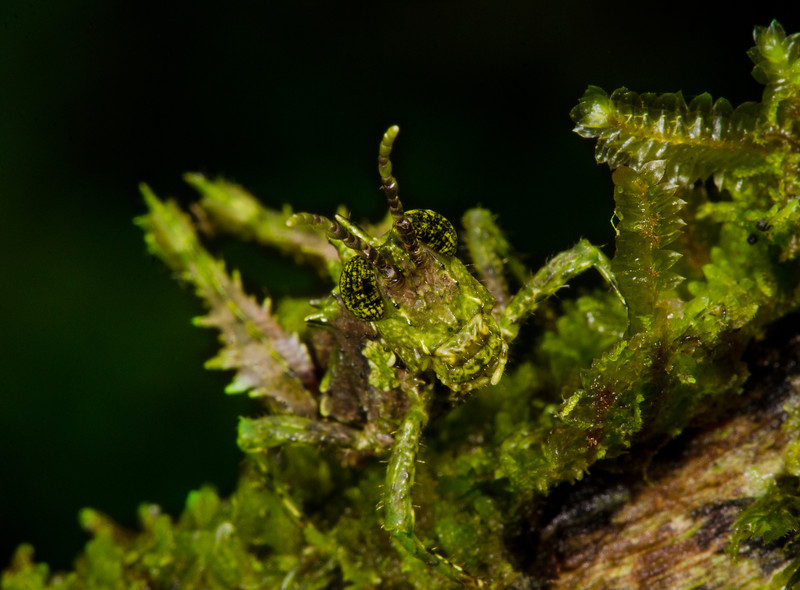 Moss-mimicking orthopteran from the Caribbean foothills of Costa Rica<br /> Rara Avis, Costa Rica