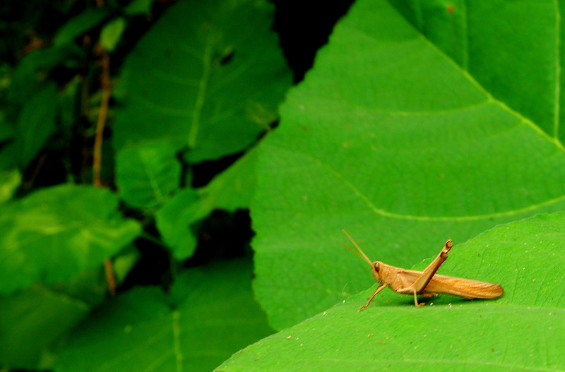 Diurnal grasshopper from Carara National Park, Costa Rica